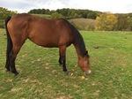 chevaux en vacances, pommes au gouter, Le Fougeray, Pissotte